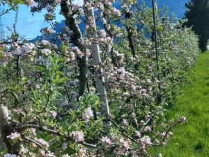 Impressionen zur Apfelblüte_2